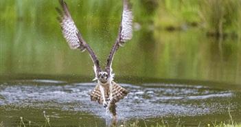 Màn săn mồi ở tốc độ cao cực mãn nhãn của ưng biển