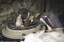 Mát tay nuôi con, cặp chim cánh cụt đồng tính lại được nhờ
