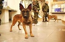 Hai chú chó bạc tỷ ở Nga khiến tội phạm khét tiếng run sợ