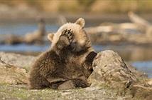 Chết cười gấu con thích chụp ảnh còn ngại, giả vờ siêu đáng yêu