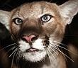 Kịch tính người phụ nữ liều mình tấn công sư tử núi cứu thú cưng