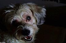 Chó trung thành, không rời xác chủ nửa bước dù kiệt sức sắp chết