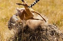 Báo đốm truy sát linh dương gay cấn như phim hành động bom tấn