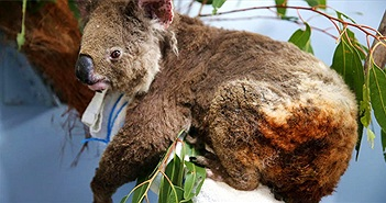 Gấu Koala sống sót ra sao sau vụ cháy rừng ở Australia?
