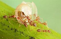 Vì sao những con kiến đi giật lùi về tổ, chúng đã làm điều đó bằng cách nào?