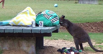 """""""Đạo chích"""" kangaroo ngang nhiên lục đồ của du khách"""