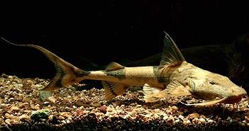 5 loài cá tiến vua huyền thoại của Việt Nam