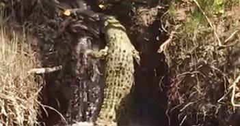 Ngộ nghĩnh cảnh cá sấu béo loay hoay vượt thác nước