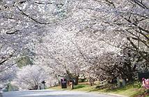 Không phải Nhật, đây mới là thủ đô anh đào của thế giới