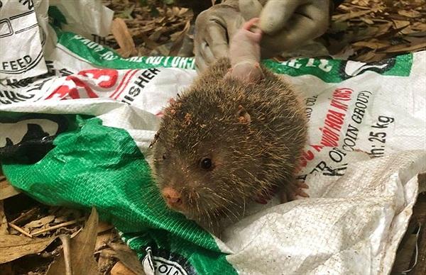Đấu trí với chuột khổng lồ tinh khôn ở rừng tây Yên Tử