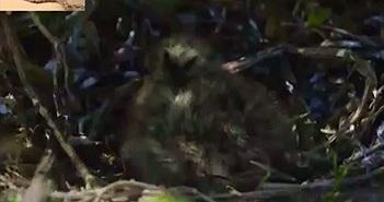 Video: Rắn hổ nhận cái kết đắng khi mò vào tổ cướp chim non
