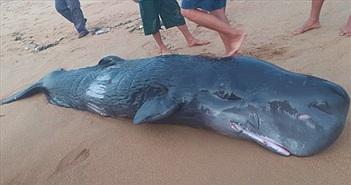 Cá voi trên mình có nhiều vết thương dạt vào bờ biển Tuy Hòa
