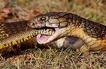 Kỳ bí vương quốc nơi rắn hổ mang chúa nặng tới 30kg