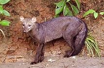 Bí ẩn về ma chó vùng Amazon lần đầu được giải đáp