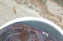 Phát hiện loại cá quý hiếm kỳ lạ tại Nam Định