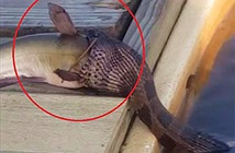 Video: Rắn ngoi lên mặt nước, khổ sở khi nuốt cá lớn