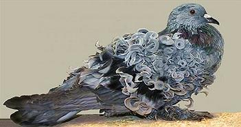 Chiêm ngưỡng loài chim bồ câu có bộ lông xoăn tít độc nhất vô nhị