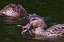 Lần đầu phát hiện vịt ăn thịt chim