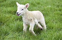 """""""Choáng váng"""" khi phát hiện cừu 5 chân"""