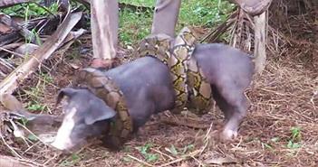 Cảnh tượng trăn tấn công, người giải cứu lợn đầy kịch tính