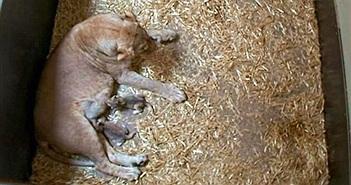 Sư tử mẹ ăn thịt hai con mới sinh đầy hãi hùng