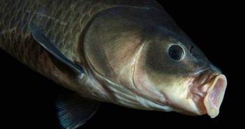 Sửng sốt phát hiện cá trâu 112 tuổi, sinh từ trước thế chiến I