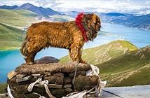Chó ngao Tây Tạng giao phối với sói núi để tổn tại ở vùng núi cao