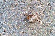 Ong bắp cày to kinh dị đoạt mạng chuột trong chưa đầy một phút