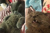 Mèo đực dân chơi yêu cả dàn hậu cung/đêm đến kiệt sức đi truyền...