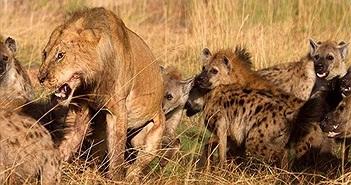 Video: Linh cẩu trả thù đáng sợ, sư tử bị xé xác trong đêm