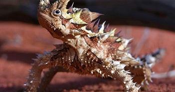 Thằn lằn quỷ gai hút nước từ cát sa mạc