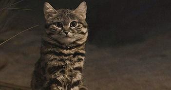"""""""Soi"""" loài mèo nhỏ nhắn nguy hiểm nhất thế giới"""