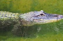 Giữa đêm tỉnh giấc, thấy cá sấu há mồm chờ sẵn trong nhà vệ sinh