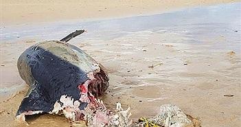 Kinh dị cá heo bị cắn mất nửa người, lộ sát thủ khổng lồ...