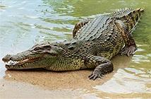 Mổ bụng cá sấu khổng lồ, phát hiện sự thật run bần bật