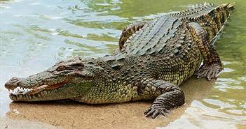 """Mổ bụng cá sấu khổng lồ, phát hiện sự thật """"run bần bật"""""""