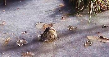 Hàng loạt cá sấu ngóc đầu giữa hồ nước đóng băng