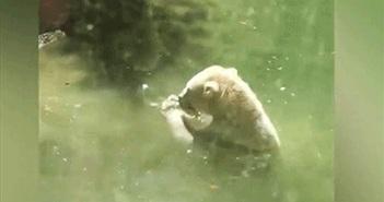 Độc lạ: Gấu Bắc cực hô hấp nhân tạo cố cứu chim nhỏ?