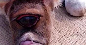 Sửng sốt bê một mắt khổng lồ cực dị biệt