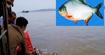 Sự thật ít biết về cá chim trắng phóng sinh xuống sông Hồng