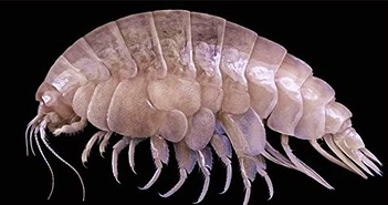 Loài ăn nhựa ở rãnh đại dương sâu nhất thế giới
