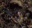 Video: Rết độc thách đấu với bọ cạp đỏ và màn ác chiến