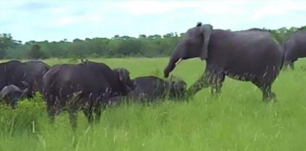 Nghịch dại đá vào đầu trâu rừng, voi con suýt phải trả giá