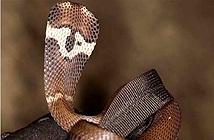 Tại sao hổ mang chúa lại không được xếp là một loài rắn hổ mang?
