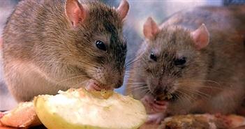 Chiến dịch diệt chuột lớn nhất thế giới trên hòn đảo Anh