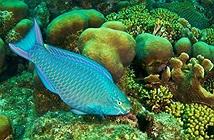 Cá Vẹt là gì? Tại sao không nên ăn cá Vẹt?