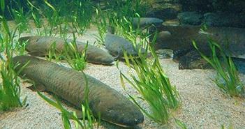 Tường tận loài cá có thể chết đuối nếu ở dưới nước quá lâu