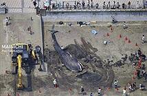 Kinh ngạc lần đầu cá voi xanh xuất hiện tại bờ biển Nhật
