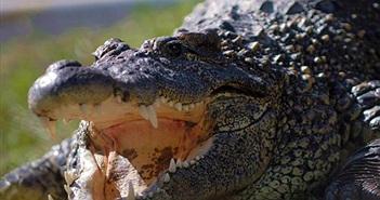 """Choáng váng săn """"siêu cá sấu"""" nặng 317kg, phá kỷ lục"""