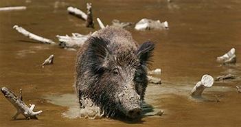Hòn đảo đột nhiên bị cả một đội quân lợn rừng xâm chiếm